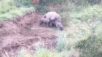 Momen menyedihkan ini difilmkan beberapa hari lalu di sebuah taman nasional oleh badan amal penyelamat Rhino 911 (Rhino 911)