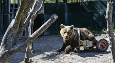Seekor beruang lumpuh bernama Usko bermain di tempat perlindungan Arcturos di Nymfaio, Yunani (23/4). Tempat ini merupakan penampungan srigala dan beruang yang diselamatkan dari perburuan liar. (AFP Photo/Aris Messinis)