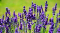 Banyak yang berpikir bunga lavender sulit ditanam, padahal hanya butuh sedikit perawatan.
