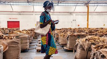 FOTO: Musim Penjualan Tembakau di Zimbabwe Terdampak Pandemi COVID-19