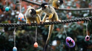 Seekor monyet tupai mendorong pasangannya pergi saat memakan telur Paskah di Kebun Binatang London, Inggris, Kamis (29/3). Monyet-monyet tersebut berebut hadiah talur Paskah yang berisi cacing dan biji-bijian. (AP Photo/Alastair Grant)