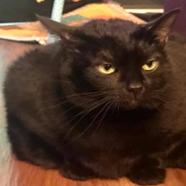 Unduh 95+  Gambar Kucing Obesitas Paling Keren HD