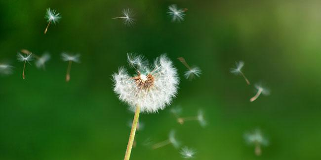 Biji dandelion yang mudah ditiup dan tumbuh di mana saja | Foto: shutterstock