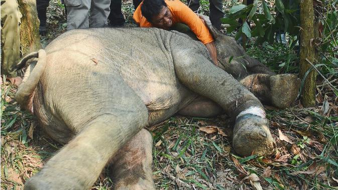 Aksi gajah jinak menyelamatkan anak gajah liar yang terpisah dari induknya. (Liputan6.com/M Syukur)#source%3Dgooglier%2Ecom#https%3A%2F%2Fgooglier%2Ecom%2Fpage%2F%2F10000