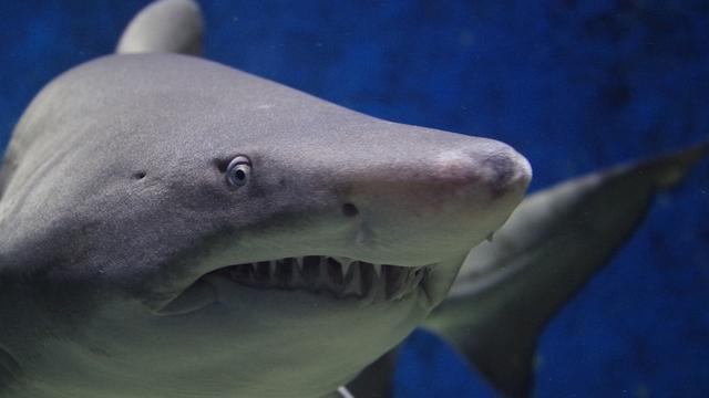 Ilustrasi serangan hiu