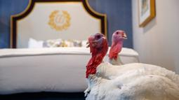 Dua kalkun jantan dari North Carolina bernama Bread and Butter, menginap di sebuah kamar khusus di Willard InterContinental, Washington, Senin (25/11/2019). Kedua kalkun ini akan diampuni oleh presiden dalam upacara di Gedung Putih sebelum perayaan Thanksgiving. (AP/Jacquelyn Martin)