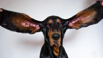 Miliki Telinga Sepanjang 30 Cm, Anjing Ini Pecahkan Rekor Dunia