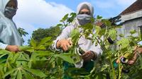 Warga di RT 11, Jatimulyo, Yogyakarta memiliki cara tersendiri untuk menghadapi pandemi Covid-19. Yaitu, dengan menanam sayur. Lorong sayur di kebun warga ini mampu mencukupi kebutuhan sehari-hari mereka. (Foto: Liputan6.com)
