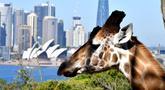Seekor jerapah melihat ke arah Gedung Opera di Kebun Binatang Taronga di Sydney (18/10/2021). Kebun binatang Taronga membuka kembali pintunya bagi pengunjung yang divaksinasi setelah pencabutan pembatasan penguncian Sydney. (AFP/Saeed Khan)