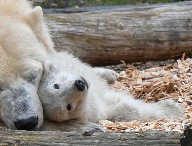 Anak beruang kutub