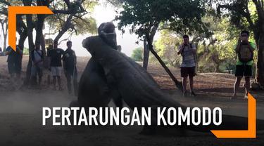 Seorang wisatawan merekam momen saat dua ekor komodo sedang bertarung di Pulau Rinca.