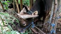 Seekor sapi bertanduk tiga mendadak bikin geger warga di Desa Yangapi, Tembuku, Bangli, Bali. (BaliExpress Jawapos.com/ Agus Eka Purna)