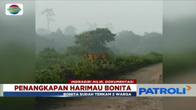 Harimau yang kerap mangsa warga bernama Bonita akhirnya berhasil ditembak bius dan akan dikirim ke pusat rehabilitasi satwa di Dharmasraya, Sumatera Barat.
