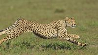 Cheetah   Foto : Istimewa