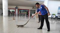 Kapolsek Bandara Djlaludin Gorontalo Ismet Ishak, saat mengeluarkan hewan melata itu dari Bandara. (Liputan6.com/Arfandi Ibrahim)