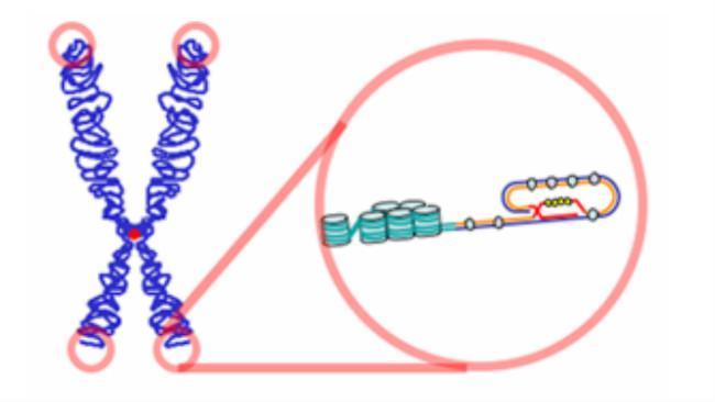 Telomer (tudung DNA) adalah bagian DNA yang menjadi penanda penuaan dan kesehatan pada umumnya. (Sumber Wikimedia Commons)