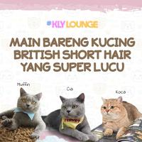 Main Bareng Kucing British Short Hair yang Super Lucu