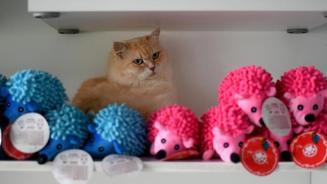 Seekor kucing Persia bernama Mia bersembunyi di balik boneka mainan yang ada di hotel CatZonia di Shah Alam, Kuala Lumpur, 6 Agustus 2018. Pemilik kucing pun harus melakukan reservasi beberapa hari sebelum kucingnya 'menginap'. (AFP/Manan VATSYAYANA)#source%3Dgooglier%2Ecom#https%3A%2F%2Fgooglier%2Ecom%2Fpage%2F%2F10000