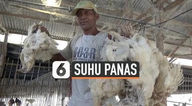 Ratusan ayam milik peternak di Jombang, Jawa Timur mati mendadak, Kamis (31/10/2019 ) siang. Diduga ayam tak kuat bertahan dengan suhu panas ekstrem.