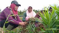 Sejumlah ibu rumah tangga sedang memanen jahe merah di lahan kelompok wanita tani (KWT) Bukit Siguntang Lestari, Tebo, Jambi. (Liputan6.com/Gresi Plasmanto)