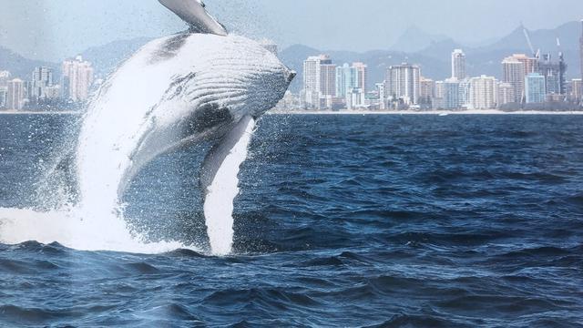 Wisata Menakjubkan Bersama Ikan Paus Dan Burung Pelikan Di Gold Coast Australia Lifestyle Liputan6 Com