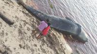 Bangkai paus sperma yang ditemukan warga di Pantau Gusi, Kabupaten Buton Utara, Jumat (5/7/2019).(Liputan6.com/Ahmad Akbar Fua)