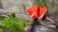 Ciri-ciri jamur ascomycota  (sumber: Pixabay)