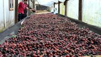Petani kopi Bengkulu mulai merubah pola panen dengan sistem petik merah untuk menghasilkan kopi berkualitas tinggi (Liputan6.com/Yuliardi Hardjo)