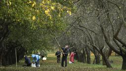 Penduduk setempat memetik buah apel dengan menggunakan alat seadanya di kebun apel di taman kota di Minsk, Belarusia (11/10/2019). Beberapa orang datang ke taman setiap hari untuk mengumpulkan apel secara gratis, dan ini sangat populer dengan orang-orang pensiunan. (AP Photo/Grits Sergei)
