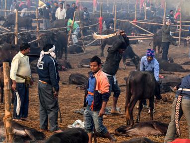 Peserta memenggal kerbau dalam Festival Gadhimai di Bariyarpur, 160 km dari Kathmandu, Nepal (3/12/2019). Festival yang sudah berlangsung turun-temurun ini diwarnai pembantaian kerbau sebagai bentuk persembahan kepada Dewi Hindu Gadhimai. (AFP/Prakash Mathema)