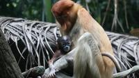 Bekantan mempunyai wajah khas berwarna biru ketika masih bayi (Foto: Wildlife Reserves Singapore)