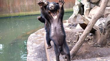 Heboh Beruang Kurus di Kebun Binatang Bandung