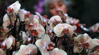 Seorang mahasiswa magang, Sal Demain menata tanaman anggrek selama pratinjau pers festival tahunan anggrek di Kew Gardens, London, Kamis (7/2). Festival yang memamerkan keanekaragaman hayati itu dibuka untuk umum mulai 9 Februari 2019. (AP/Alastair Grant)