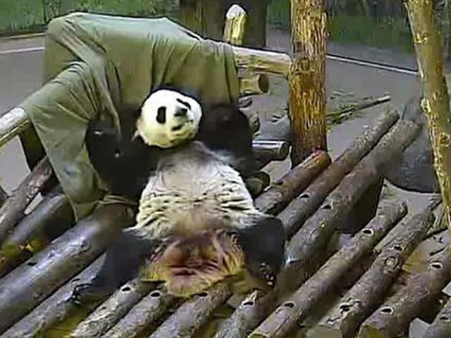 9600 Koleksi Gambar Hewan Panda Yang Lucu HD Terbaru