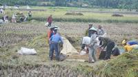 Petani memanen padi di Cingebul Kecamatan Lumbir pada MT 1 2017. (Foto: Liputan6.com/Muhamad Ridlo)
