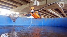 Petugas membersihkan kolam lele di Kolong Tol Becakayu, Kalimalang, Jakarta Timur, Selasa (2/2/2021). Sejumlah Petugas Prasarana dan Sarana Umum (PPSU) bersama warga memanfaatkan lahan kosong di Kolong Tol Becakayu untuk dijadikan lokasi budidaya lele. (Liputan6.com/Herman Zakharia)