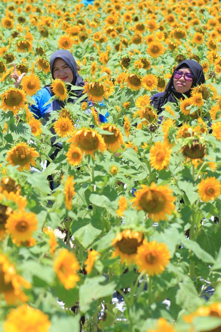 Warna kuning bunga matahari memancarkan semangat dan kewibawaan seperti terlihat pada dua pengunjung yang sedang reunian ini. (foto : Liputan6.com / edhie prayitno ige)