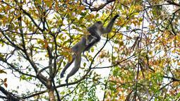 Induk monyet Surili menggendong anaknya saat mencari makan di pepohonan Taman Nasional Gunung Halimun Salak (TNGHS), Jawa Barat, Sabtu (5/1). Pada 2004, IUCN menetapkan primata pemakan segala itu terancam punah (endangered). (Merdeka.com/Iqbal Nugroho)