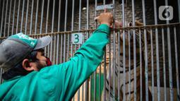 Petugas memberi makan harimau di Taman Margasatwa Ragunan, Jakarta Selatan, Senin (20/4/2020). Pihak pengelola Taman Margasatwa Ragunan tetap melakukan perawatan terhadap seluruh satwa selama pandemi virus corona COVID-19. (Liputan6.com/Faizal Fanani)