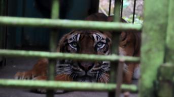 Kata Dokter Hewan soal Viral Video Harimau Kurus dan Makan Rumput di Medan Zoo