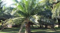Dinas Pertanian dan Perkebunan Aceh 2019 menyebut terdapat 61 perusahaan kelapa sawit di provinsi itu. Sebanyak 39 diantaranya masih beroperasi, delapan dalam tahap pembangunan, dan 14 lainnya dinyatakan kolaps. (Liputan6.com/ Rino Abonita)