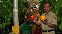 Panen paprika di perbukitan Desa Deles, Kecamatan Bawang, Batang, Jawa Tengah. (Liputan6.com/Fajar Eko Nugroho)