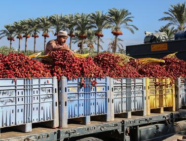 Menengok Petani Palestina Panen Buah Kurma