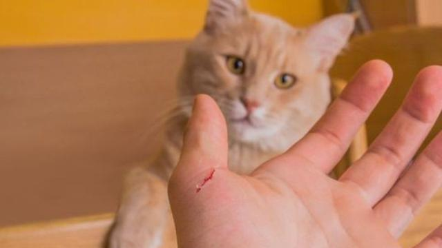 Gejala Penyakit Akibat Cakaran Kucing Dan Pengobatannya Hot Liputan6 Com