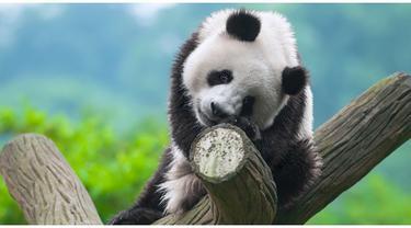 Dongeng Asal Mula Warna Hitam Putih Di Badan Panda