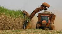 Ilustrasi produksi gula. (Source: AP)
