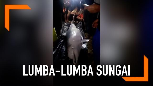 Dua ekor lumba-lumba menampakkan diri di Sungai Kualuh, Sumatera Utara. Namun sayang satu ekor lumba-lumba tersebut ditemukan mati.