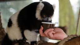 Lemur hitam putih meminum teh hangat yang diberikan pawang di kebun binatang Debrecen, Hungaria, Rabu (25/1). Pihak pengelola bonbin memberikan minuman hangat kepada para hewan untuk menghangatkan tubuh saat udara dingin. (Zsolt Czegledi/MTI via AP)