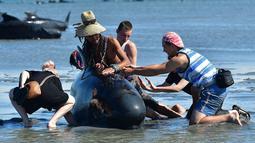 Sejumlah relawan menyiramkan air dan berusaha menarik ke tengah pantai untuk menyelamatkan ikan paus pilot yang terdampar di Farewell Spit, Selandia Baru (11/2). (AFP/Marty Melville)