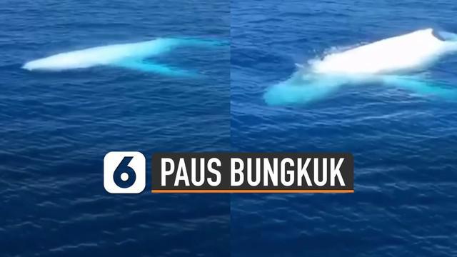 Fenomena menakjubkan saat penampakan paus bungkuk putih muncul di atas permukaan laut.